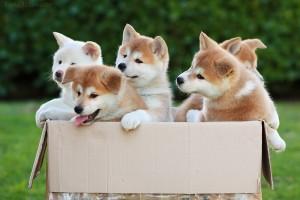 щенки акита ину в коробке