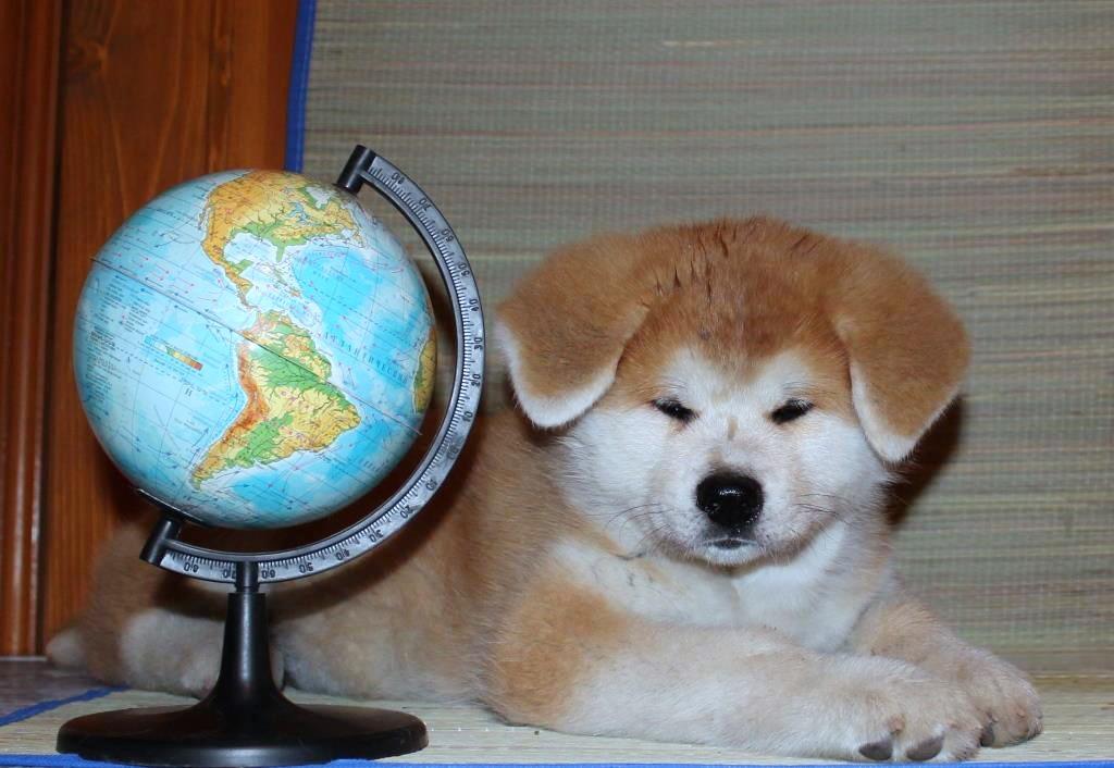 щенок акиты с глобусом