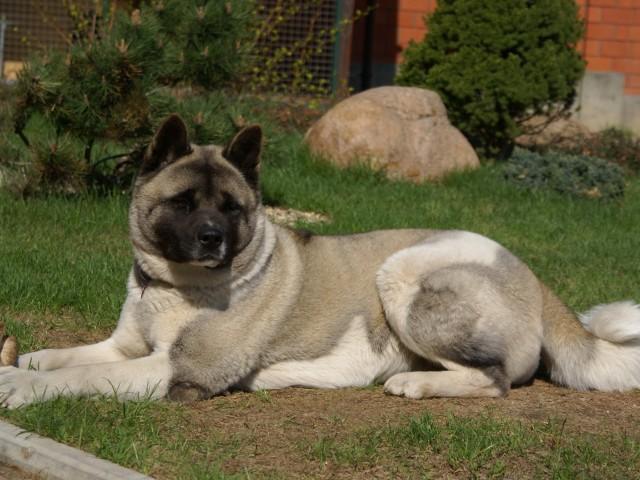 американская акита -большая японская собака