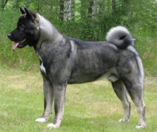 японская собака акита