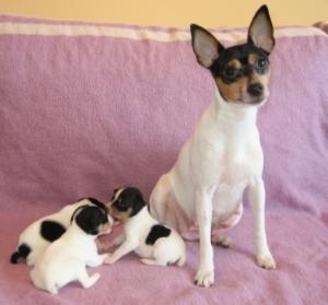 Тойфокс со щенками