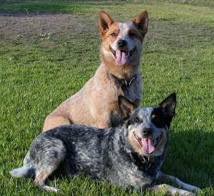 Австралийские пастушьи собаки