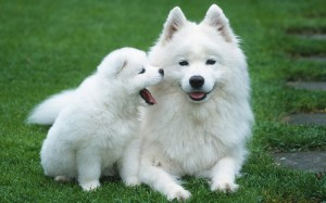 мама и щенок эскимосы
