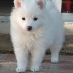 щенок эскимосской собаки