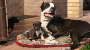 питбультерьер со щенком