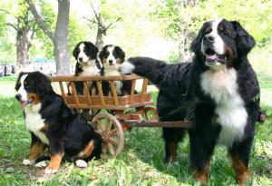Бернский зенненхунд family