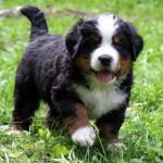 Бернский зенненхунд щенок