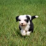бобтейл щенок (староанглийская овчарка)