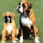 Боксер со щенком