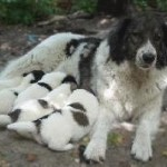 болгарская овчарка со щенками