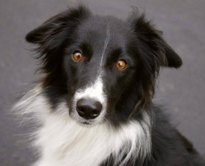 Бордер Колли (Border Collie)