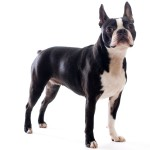 boston-terrier-breed-150x150