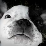 мордочка щенка бостона