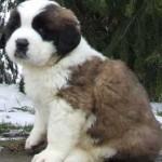 щенок болгарской овчарки