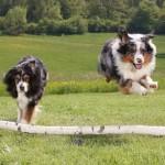 прыгучие австралйиские овчарки