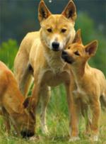 самка динго со щенками