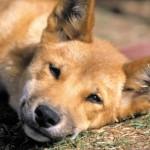 сонный щенок динго
