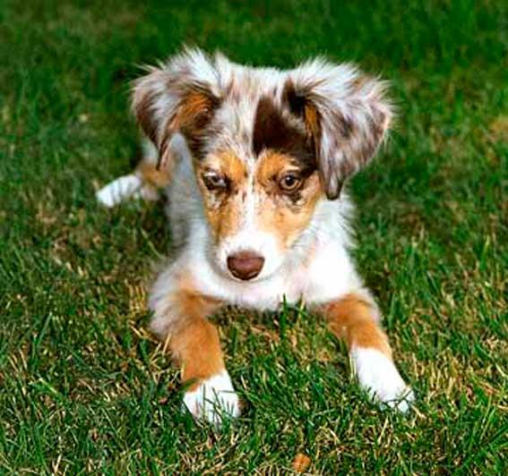 ушастый щенок австралийской овчарки