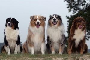 четыре австралийские овчарки