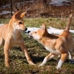 щенки динго играют
