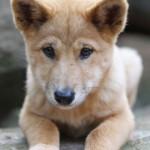 щенок динго австралийского