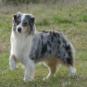 Аусси (австралийская овчарка)