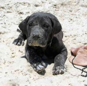 australian-bandog-щенок
