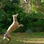 австралийская борзая прыгает