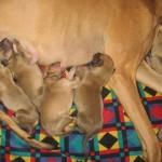 австралийская собака со щенками