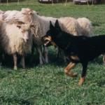 австралийский келпи с овцами
