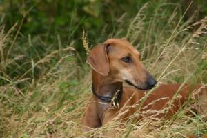 азавак в траве