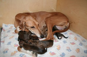 азавак со щенками