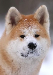 айну мордочка в снегу
