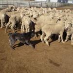 короткохвостая пастушья собака и овцы