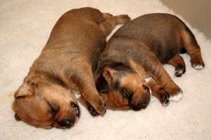 маленькие щенки австрийского пинчера