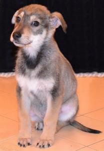 щенок австрийского пинчера