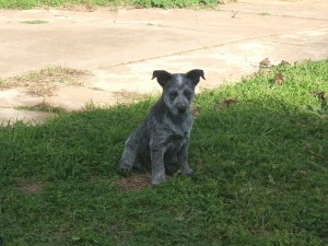 small-australian-stumpy-tail-cattle-dog-photo