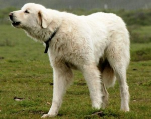 Акбаш, похожий на белого медведя фото