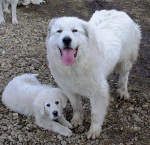 акбаш-девочка со щенком