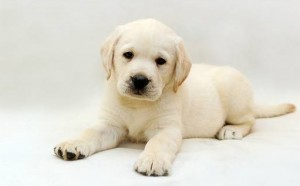 акбаш щенок на белом фоне