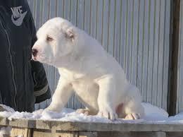 крупный щенок акбаш