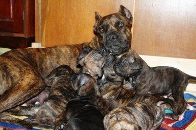 Алано испаньол со щенками