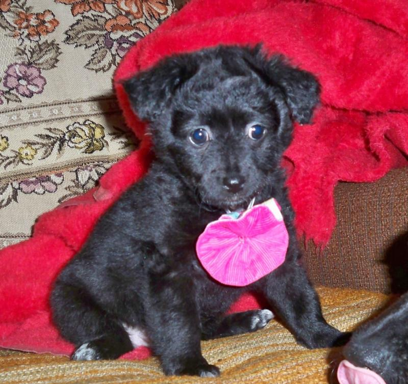 малая греческая собака щенок