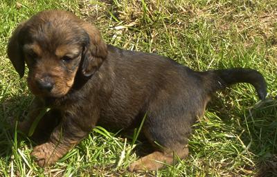 Alpenlandische-Dachsbracke щенок