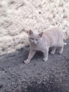 Британская кошка- бесплатно