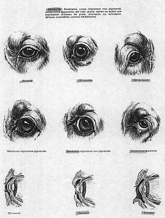 глаза кокера
