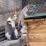 домашняя кошка усыновила детенышей манула