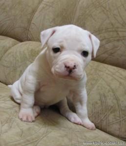 маленький щенок амбуля