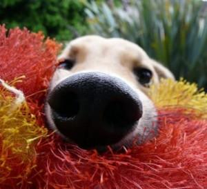 мочка носа собаки
