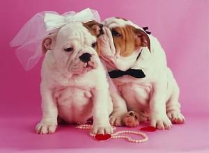 свадьба английских бульдогов